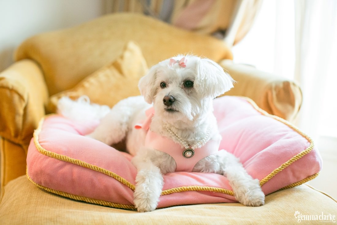 A bride and groom's dog in her wedding attire sitting on a pink cushion - Eastern Suburbs Wedding