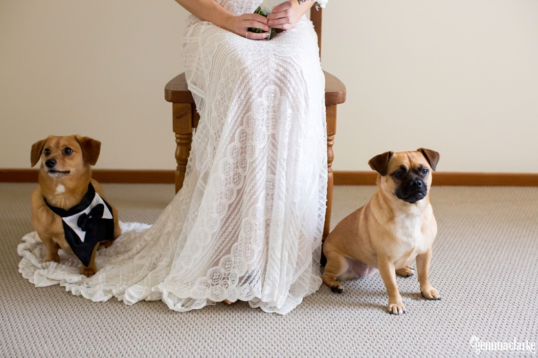 A bride in a lacy white gown sitting on a chair with two small dogs sitting either side of her feet