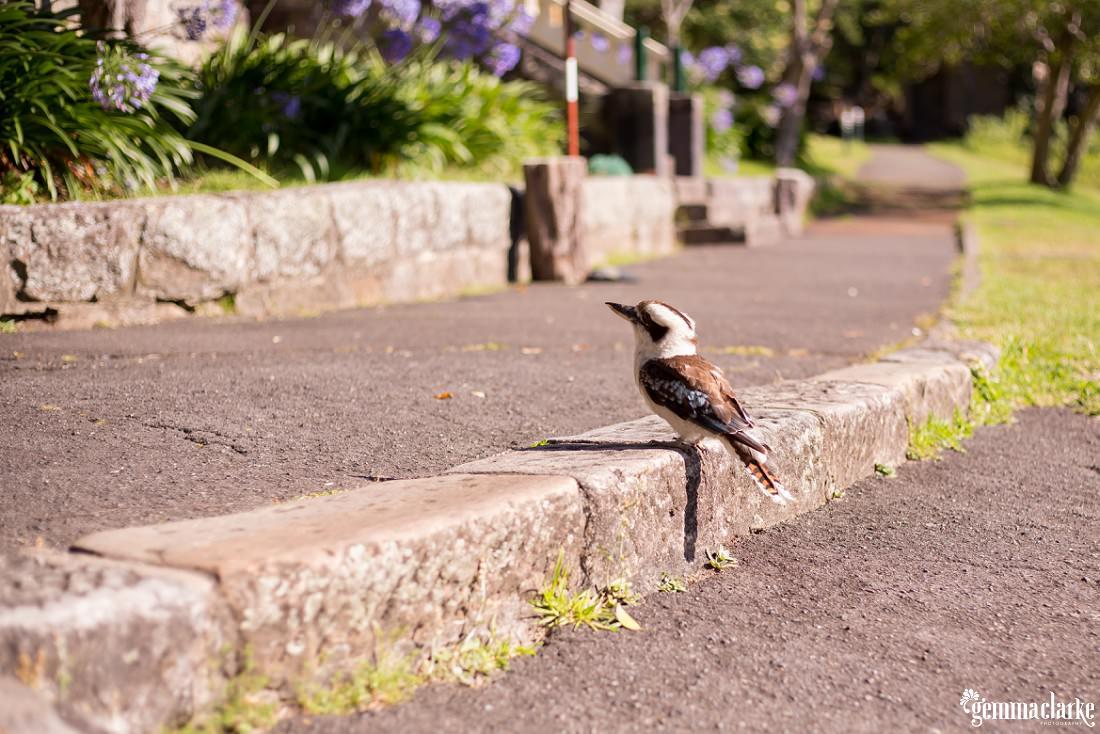 A kookaburra on a step outside Athol Hall