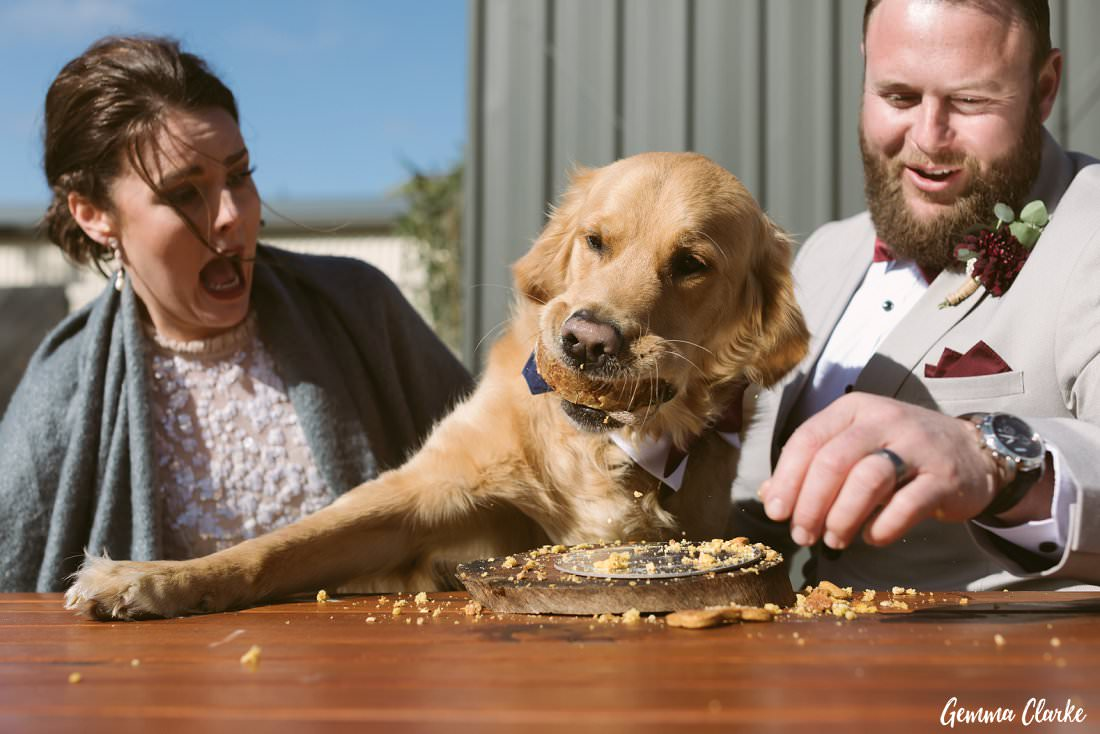 Barnaby the golden retriever takes a huge bite out of his specially made doggie cake at his parents Buxton Wedding